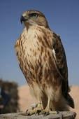 Falcon Goddess