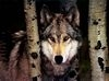 Wolfs are Royality